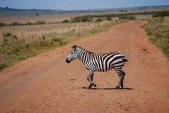 Zebry Maasai Mara Krajowa rezerwa Kenja Afryka Zdjęcia Royalty Free