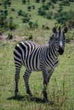 Zebry Maasai Mara Krajowa rezerwa Kenja Afryka Fotografia Stock
