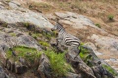 Zebry Mara rzeki w Kenja skrzy?owanie obraz stock