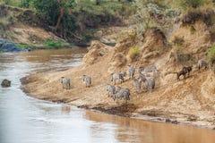 Zebry Mara rzeki w Kenja skrzy?owanie fotografia stock