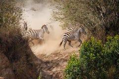 Zebry Mara rzeki w Kenja skrzy?owanie zdjęcie royalty free
