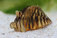 Zebry mussel w stawie (Dreissena polymorpha) Zdjęcie Royalty Free