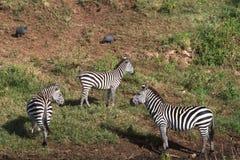 Zebry na brzeg mały staw Tanzania, Afryka Obrazy Royalty Free