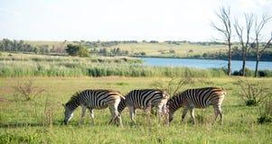 Zebry na południe - afrykańska sawanna obrazy stock
