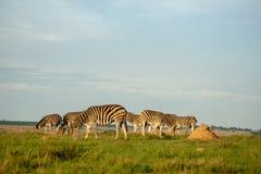 Zebry na południe - afrykańska sawanna zdjęcie stock
