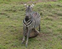Zebry, Ngorongoro krater, Tanzania fotografia stock
