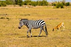 Zebry odprowadzenie w sawannie Masai Mara park Zdjęcie Stock