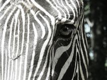 Zebry oka zbliżenie obrazy royalty free