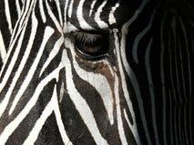 Zebry oka zbliżenie fotografia royalty free