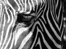 Zebry oka zbliżenie zdjęcia royalty free