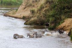 Zebry pływają strona przeciwna Mara rzeka Kenja, Afryka Obraz Royalty Free