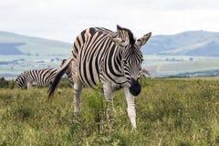 Zebry pasanie na obszarze trawiastym Przeciw góra krajobrazowi Fotografia Royalty Free