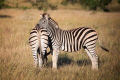 Zebry, Południowa Afryka Obraz Royalty Free
