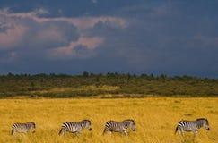 Zebry podążają each inny w sawannie Kenja Tanzania Park Narodowy kmieć Maasai Mara obraz royalty free