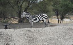 Zebry pozycja na białym kopu patrzeje z lewej strony Zdjęcia Royalty Free