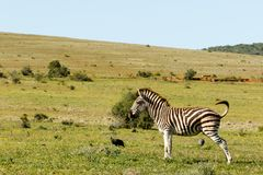 Zebry pozycja w polu zdjęcia stock