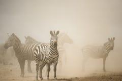Zebry pozycja w pyle, Serengeti, Tanzania Zdjęcia Stock