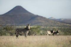Zebry pozycja w segreguj? Kaokoland Kunene region obraz stock