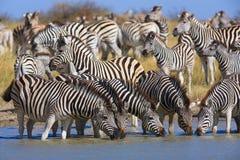 Zebry przesiedleńcze w Makgadikgadi niecek parku narodowym Obraz Royalty Free