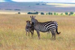 Zebry przy masai Mara parkiem narodowym Fotografia Royalty Free