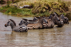 Zebry przy podlewaniem Zdjęcie Royalty Free