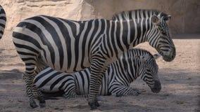 Zebry przy zoo Jeden zwierzę jest ciężarny zdjęcie wideo