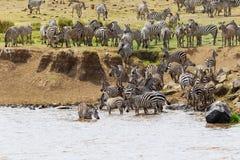 Zebry przygotowywają krzyżować rzekę Kenja, Afryka Obraz Royalty Free