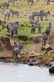 Zebry przygotowywają krzyżować rzekę Kenja, Afryka Zdjęcie Stock