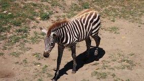 Zebry (równiny zebra) lying on the beach na ziemi, śpi (stabilizujący) zbiory wideo