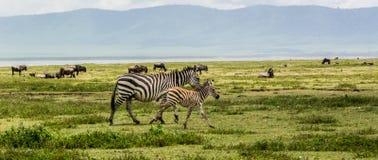 Zebry rodzina w Ngorogoro kraterze fotografia stock