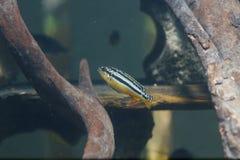 Zebry rybi zbliżenie Zdjęcie Royalty Free