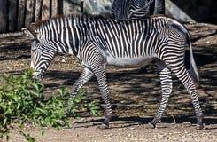 Zebry ` s źrebię Fotografia Royalty Free