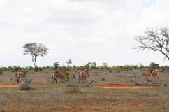 Zebry ` s odprowadzenie na sawannie, Kenja obrazy stock