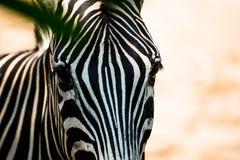 Zebry ` s twarz Fotografia Royalty Free
