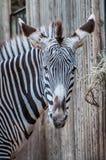 Zebry sawanny zwierzę zdjęcie stock