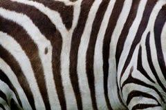 Zebry skóra Obrazy Stock