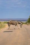 Zebry skrzyżowanie ulica w Kruger parku, Południowa Afryka Obrazy Stock