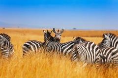 Zebry stado na obszarach trawiastych Kenja, Afryka Zdjęcie Royalty Free