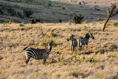Zebry stado w Afryka przyrody konserwaci parku narodowym Zdjęcia Royalty Free