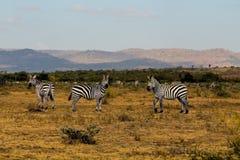 Zebry stado w Afryka przyrody konserwaci parku narodowym Obraz Royalty Free