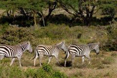 Zebry stado w Afryka przyrody konserwaci parku narodowym Fotografia Royalty Free