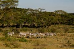 Zebry stado w Afryka przyrody konserwaci parku narodowym Fotografia Stock