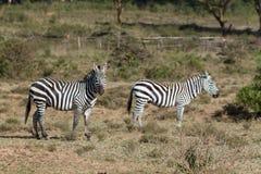 Zebry stado w Afryka przyrody konserwaci parku narodowym Obraz Stock