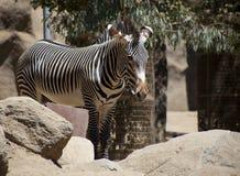 Zebra stojaki za skałami Obrazy Stock