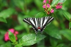Zebry Swallowtail motyl Zdjęcia Stock