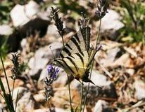 Zebry Swallowtail motyl Zdjęcia Royalty Free