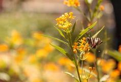 Zebry swallowtail motyl, Eurytides Marcellus Zdjęcie Stock