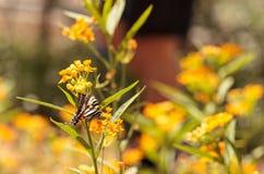 Zebry swallowtail motyl, Eurytides Marcellus Zdjęcia Royalty Free