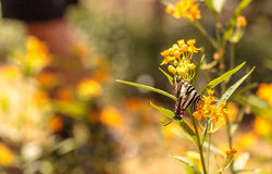 Zebry swallowtail motyl, Eurytides Marcellus Fotografia Royalty Free