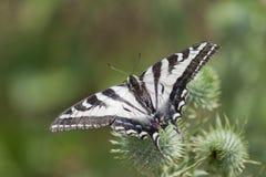 Zebry Swallowtail Motyli Sunbathing Fotografia Stock